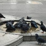 D'autres pigeons de la Place Saint-Marc